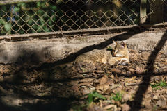Wildcat sleep on the ground in the cage in Padmaja Naidu Himalayan Zoological Park at Darjeeling, India Stock Images