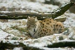 Wildcat in Winter. Side view of wildcat sleeping in snowy Winter scene stock images