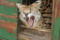 Wildcat yawning Stock Photography