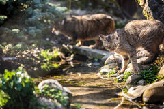 Wildcats in their natural habitat Royalty Free Stock Image
