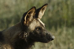 Wilddog. Alert wilddog looking over the savanna royalty free stock image