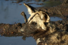 Wilddog. Resting after a drink royalty free stock photo