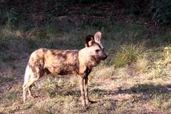 Wilddog Standing in the Sun Stock Photography