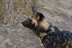 Wilddog in tanzania national park Royalty Free Stock Photo