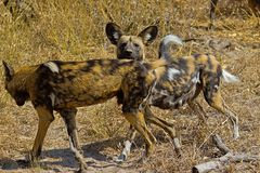 Wilddog in tanzania national park Stock Photos