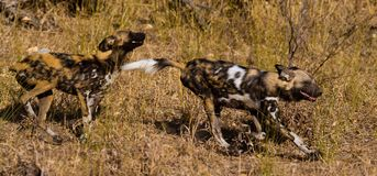 Wilddog in tanzania national park Royalty Free Stock Photos