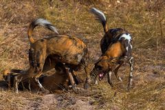 Wilddog in tanzania national park Royalty Free Stock Image