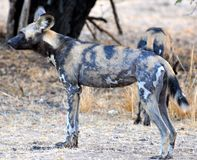 Wilddog in tanzania national park Royalty Free Stock Photography
