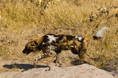 Wilddog in tanzania national park Stock Photo