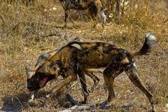Wilddog w Tanzania parku narodowym Zdjęcie Royalty Free