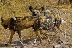 Wilddog w Tanzania parku narodowym Zdjęcia Stock