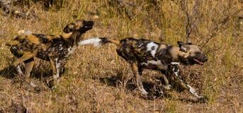 Wilddog w Tanzania parku narodowym Zdjęcia Royalty Free