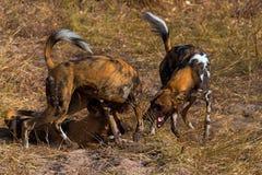 Wilddog w Tanzania parku narodowym Obraz Royalty Free