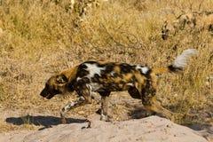 Wilddog w Tanzania parku narodowym Zdjęcie Stock