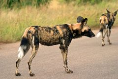 Wilddogs stock foto
