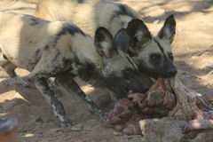 Wilddogs Immagine Stock Libera da Diritti