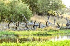 Wilddogs na punkcie obserwacyjnym dla impalas zdjęcie royalty free