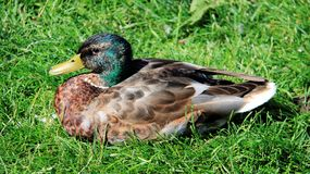 One male wild duck simple nature life. Repose male wild duck on green grass colorful feathers natural wild life in summertime Stock Photos