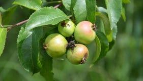 Wilde Äpfel Stockfoto