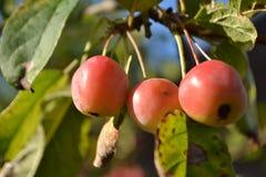Wilde Äpfel im Heimatstadtgarten Stockbild