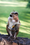 Wilde Aap met banaan in Sri Lanka Stock Foto