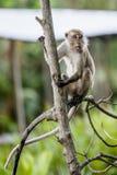 Wilde aap met lange staart Royalty-vrije Stock Foto's