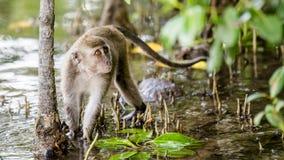 Wilde aap met lange staart Royalty-vrije Stock Afbeeldingen