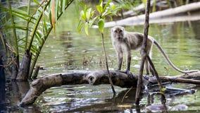 Wilde aap met lange staart Royalty-vrije Stock Foto