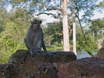 Wilde aap van siem riep Royalty-vrije Stock Fotografie