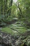 Wilde aard Geheimzinnig bos en moeras De lente in het bos Verse groene beeld Affiche en achtergrond Royalty-vrije Stock Afbeeldingen