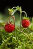 Wilde aardbei op een achtergrond van mos royalty-vrije stock fotografie