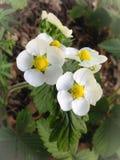 Wilde aardbeibloemen Stock Fotografie