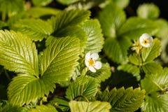 Wilde aardbeibloemen en bladeren Royalty-vrije Stock Afbeeldingen