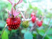 Wilde aardbeien Stock Afbeeldingen