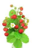 Wilde aardbeien Royalty-vrije Stock Foto