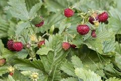 Wilde aardbeien Stock Foto