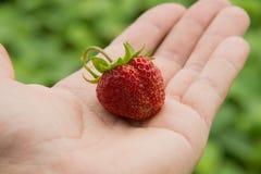 Wilde aardbeien in de vuile handen van kinderen stock foto