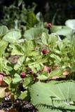 Wilde aardbeien in een bosopen plek Stock Afbeelding