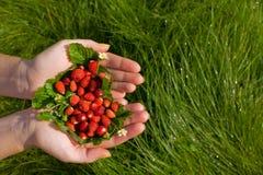 Wilde aardbeien in handen Royalty-vrije Stock Foto's
