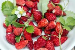 Wilde aardbeien met bladeren en bloem Stock Foto