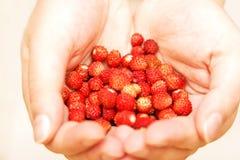 Wilde aardbeien in open palmen Stock Fotografie