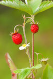 Wilde aardbeienfragaria vesca Royalty-vrije Stock Fotografie