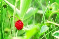 Wilde aardbeieninstallatie met rode rijpe bes Stock Afbeeldingen