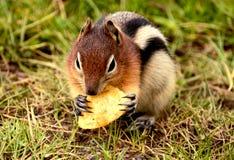 Wilde Aardeekhoorn die chips eten Stock Afbeeldingen