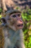 Wilde Affen Lizenzfreie Stockfotografie