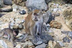 Wilde Affen auf der Insel Landkawi, Malaysia Stockfoto