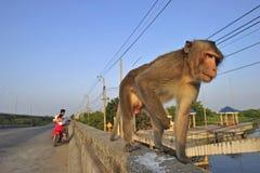 Wilde Affen auf der Straße Stockfotos