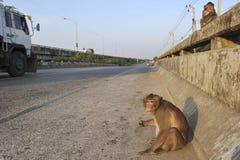 Wilde Affen auf der Straße Stockbild