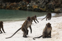 Wilde Affen auf Küste Stockfotos