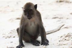 Wilde Affen auf Küste Lizenzfreie Stockbilder